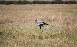 Национальный заповедник Кения Африка Maasai Mara птицы секретарши стоковые изображения rf