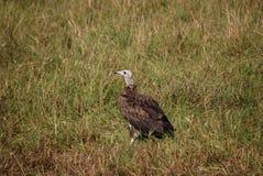 Национальный заповедник Кения Maasai Mara птицы хищника стоковое фото rf