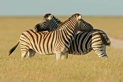национальный парк Намибии etosha упрощает зебр стоковая фотография rf