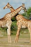 национальный парк Намибии giraffes etosha Стоковое Фото