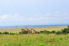 Национальный парк на зоре Уганда ферзя Элизабета Стоковые Изображения RF