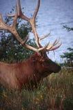 национальный парк яшмы лося Стоковые Фотографии RF