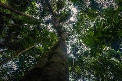Национальный парк Manu, Перу - 7-ое августа 2017: Высокое дерево в Ama стоковые изображения rf