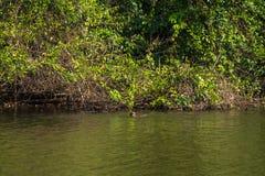 Национальный парк Manu, Перу - 7-ое августа 2017: Гигантские выдры в Coch стоковое изображение rf