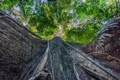 Национальный парк Manu, Перу - 7-ое августа 2017: Гигантское дерево в Am стоковые фото