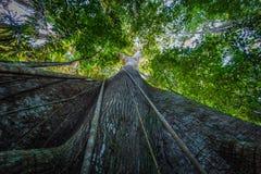 Национальный парк Manu, Перу - 7-ое августа 2017: Гигантское дерево в Am стоковые фотографии rf