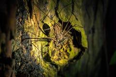 Национальный парк Manu, Перу - 7-ое августа 2017: Гигантское spide скорпиона стоковая фотография rf