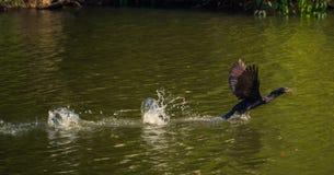 Национальный парк Manu, Перу - 7-ое августа 2017: Дикая утка в Cocha s стоковая фотография rf