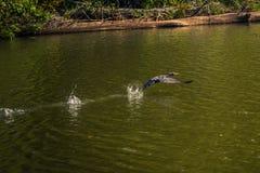 Национальный парк Manu, Перу - 7-ое августа 2017: Дикая утка в Cocha s стоковые фото