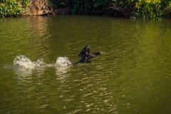 Национальный парк Manu, Перу - 7-ое августа 2017: Дикая утка в Cocha s стоковые изображения