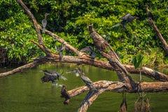 Национальный парк Manu, Перу - 7-ое августа 2017: Дикие утки в Cocha стоковое фото