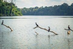Национальный парк Manu, Перу - 7-ое августа 2017: Дикие утки в Cocha стоковое изображение rf