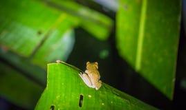 Национальный парк Manu, Перу - 6-ое августа 2017: Зеленая лягушка в Am стоковое изображение rf