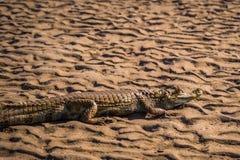 Национальный парк Manu, Перу - 6-ое августа 2017: Кейман в побережье стоковое изображение