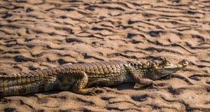 Национальный парк Manu, Перу - 6-ое августа 2017: Кейман в побережье стоковые фотографии rf