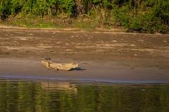 Национальный парк Manu, Перу - 7-ое августа 2017: Кейман в побережье стоковое фото rf