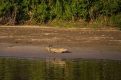 Национальный парк Manu, Перу - 7-ое августа 2017: Кейман в побережье стоковая фотография