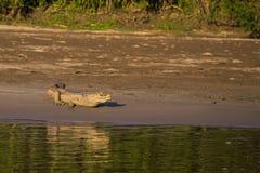 Национальный парк Manu, Перу - 7-ое августа 2017: Кейман в побережье стоковое фото