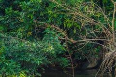 Национальный парк Manu, Перу - 7-ое августа 2017: Король Рыболов в Co стоковое изображение rf