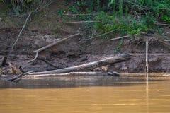 Национальный парк Manu, Перу - 6-ое августа 2017: Малая черепаха в стоковая фотография