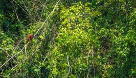 Национальный парк Manu, Перу - 7-ое августа 2017: Обезьяна ревуна в стоковое фото rf