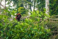 Национальный парк Manu, Перу - 7-ое августа 2017: Обезьяна ревуна в стоковое изображение rf