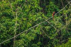 Национальный парк Manu, Перу - 7-ое августа 2017: Обезьяна ревуна в стоковое изображение