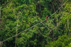 Национальный парк Manu, Перу - 7-ое августа 2017: Обезьяна ревуна в стоковая фотография