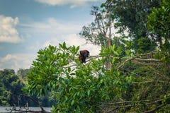 Национальный парк Manu, Перу - 7-ое августа 2017: Обезьяна ревуна в стоковые изображения
