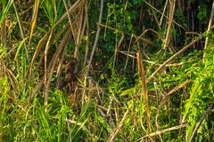 Национальный парк Manu, Перу - 7-ое августа 2017: Обезьяна Capuchin в t стоковые фото