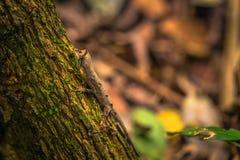 Национальный парк Manu, Перу - 7-ое августа 2017: Одичалая ящерица в a стоковое изображение rf
