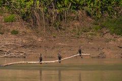Национальный парк Manu, Перу - 6-ое августа 2017: Одичалые птицы в sh стоковые фотографии rf