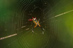 Национальный парк Manu, Перу - 7-ое августа 2017: Одичалый желтый паук i стоковая фотография rf