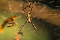 Национальный парк Manu, Перу - 7-ое августа 2017: Одичалый желтый паук i стоковые изображения