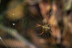 Национальный парк Manu, Перу - 7-ое августа 2017: Одичалый желтый паук i стоковое фото rf