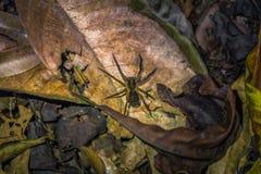 Национальный парк Manu, Перу - 7-ое августа 2017: Одичалый паук в d стоковое фото