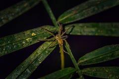 Национальный парк Manu, Перу - 7-ое августа 2017: Одичалый паук в d стоковые изображения rf