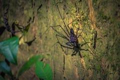 Национальный парк Manu, Перу - 6-ое августа 2017: Паук скорпиона внутри стоковое фото