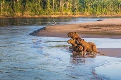Национальный парк Manu, Перу - 6-ое августа 2017: Семья капибары a стоковые изображения