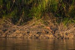 Национальный парк Manu, Перу - 6-ое августа 2017: Семья капибары a стоковое изображение rf