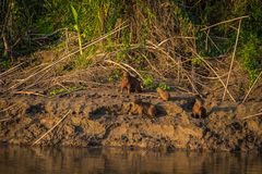 Национальный парк Manu, Перу - 6-ое августа 2017: Семья капибары a стоковая фотография