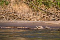 Национальный парк Manu, Перу - 6-ое августа 2017: Черепахи купая в t стоковые изображения