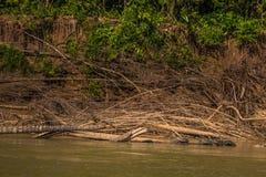 Национальный парк Manu, Перу - 6-ое августа 2017: Черепахи купая в t стоковое изображение rf