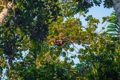 Национальный парк Manu, Перу - 8-ое августа 2017: Шерстистая обезьяна в стоковые фотографии rf