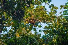 Национальный парк Manu, Перу - 8-ое августа 2017: Шерстистая обезьяна в стоковые изображения rf