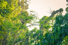 Национальный парк Manu, Перу - 8-ое августа 2017: Шерстистые обезьяны в th стоковая фотография rf