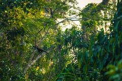 Национальный парк Manu, Перу - 8-ое августа 2017: Шерстистые обезьяны в th стоковое фото rf