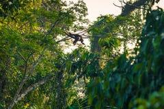 Национальный парк Manu, Перу - 8-ое августа 2017: Шерстистые обезьяны в th стоковые фотографии rf