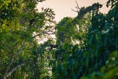 Национальный парк Manu, Перу - 8-ое августа 2017: Шерстистые обезьяны в th стоковое изображение rf