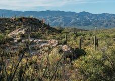 Национальный парк Saguaro на Tuscon, Аризоне стоковая фотография rf